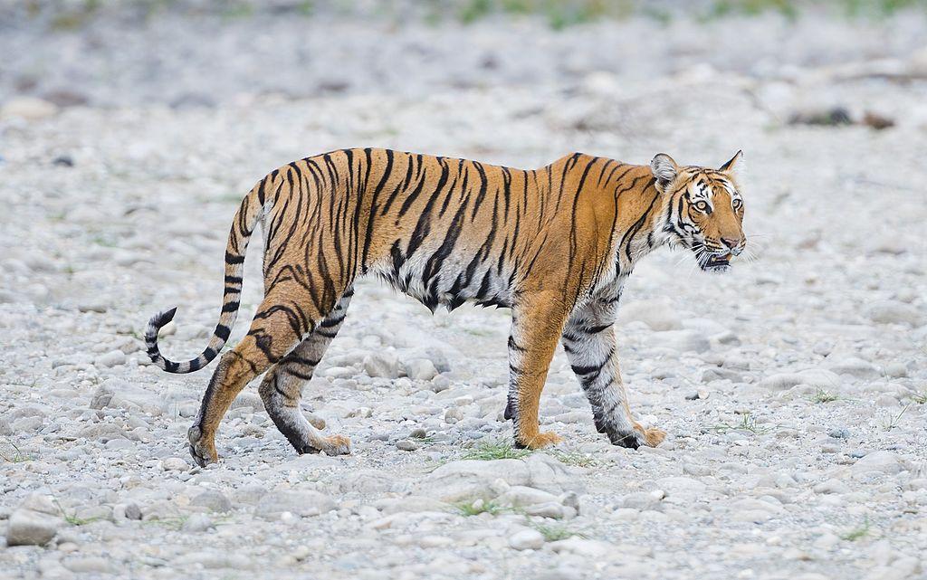wild-tiger